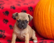 Peewee - Jug Puppy for Sale