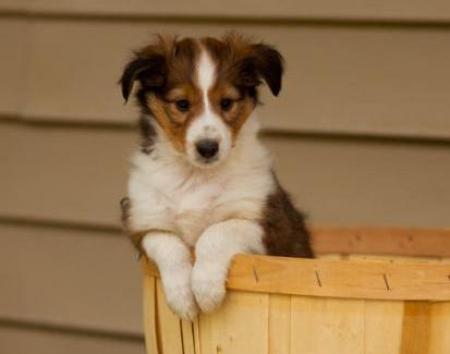 Benny - Shetland Sheepdog Puppy for Sale