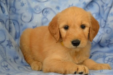 Jud - Goldendoodle Puppy for Sale