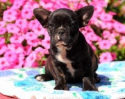 Lenny - French Bulldog Puppy for Sale