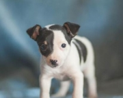 Doc - Toy Terrier Puppy for Sale