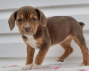 Abby - Beabull Puppy for Sale