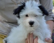 Cream Puff - Havanese Puppy for Sale