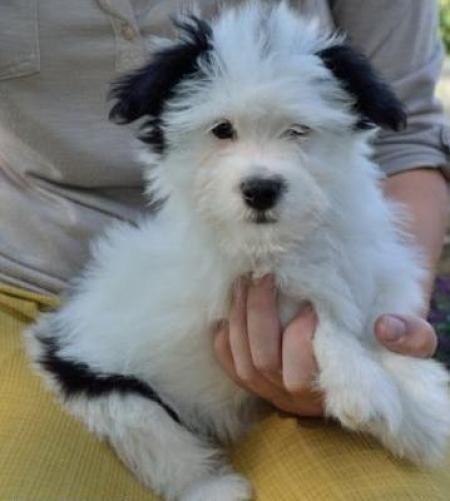 Cream Puff - Havanese Puppy for Sale