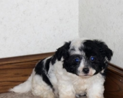 Haley - Havachon Puppy for Sale