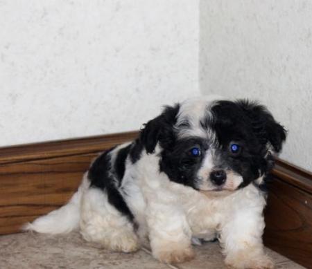 Haley - Havachon Puppy for Sale