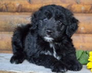 Bailey - Aussiedoodle Puppy for Sale