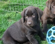 Molly - Labrador Retriever Puppy for Sale