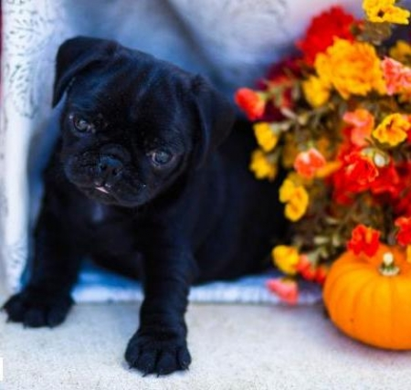Kenny - Pug Puppy for Sale