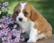 Princess - Cavalier King Charles Spaniel Puppy for Sale