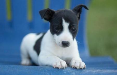 Rachel - Rat Terrier Puppy for Sale