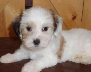Theacius - Maltipoo Puppy for Sale