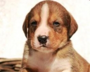 DAISEY - Bernese Mountain Dog Mix Puppy for Sale