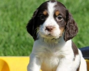 Tootsy Roll - English Springer Spaniel Puppy