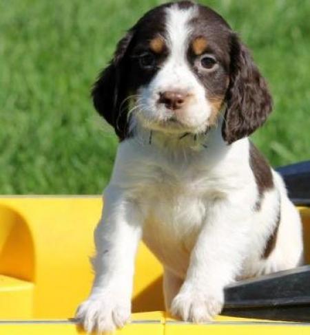 Tootsy Roll - English Springer Spaniel Puppy