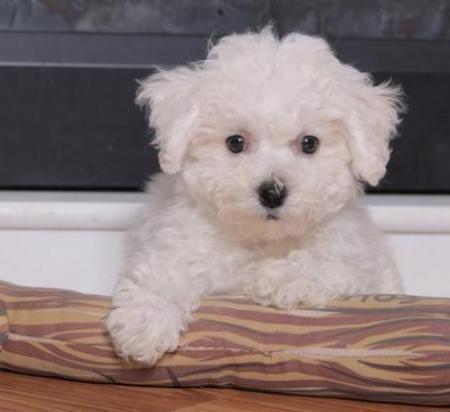 Felix - Bichon Frise Puppy for Sale