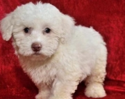 Rita - Bichapoo Puppy for Sale
