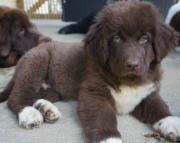 Jonathon of Course - Newfoundland Puppy