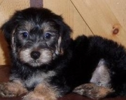 Crash - Morkie Puppy for Sale
