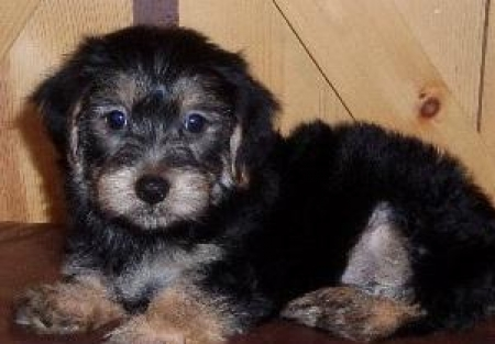 Crash - Morkie Puppy for Sale