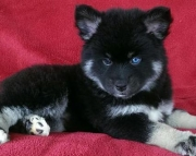 Tina - Pomsky Puppy for Sale