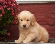 Brady - Golden Retriever Puppy for Sale