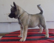 Pepper - Norwegian Elkhound Puppy for Sale