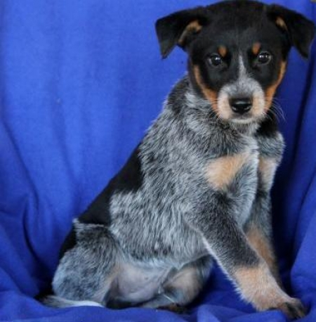 Carter - Blue Heeler Puppy for Sale