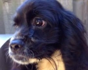 Cooper- - Cockalier Puppy for Sale