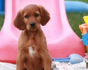 Charlotte - Irish Setter Puppy for Sale