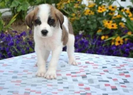 Matchi - Saint Bernard Puppy for Sale