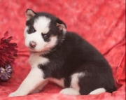 Mckenzie - Siberian Husky Puppy for Sale