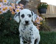 Dustin - Dalmatian Puppy for Sale