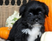 Jody - Shorkie Puppy for Sale