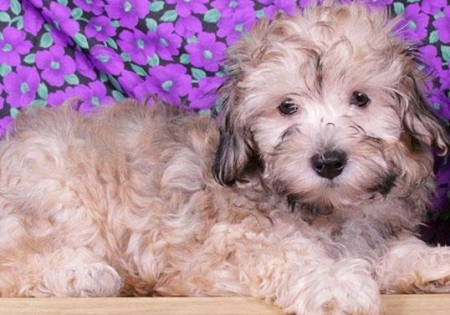 Mike - Havapoo Puppy for Sale