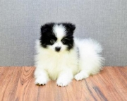 Rafeal!! - Pomeranian Puppy for Sale