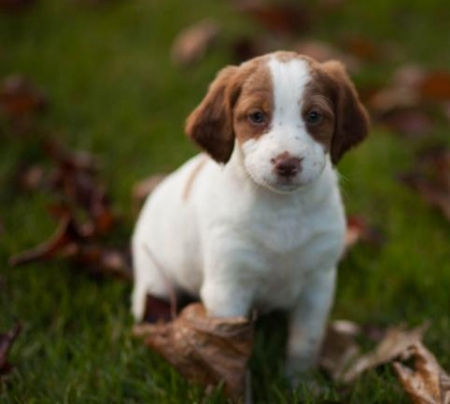 Carlee - Brittany Puppy for Sale
