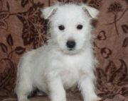 Molly - West Highland White Terrier Puppy