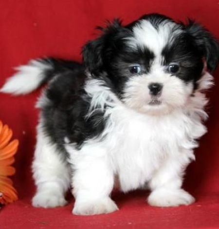 Orion - Shih Tzu Puppy for Sale