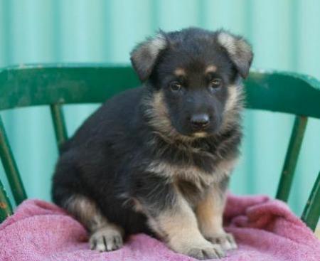 Rosie - German Shepherd Puppy for Sale