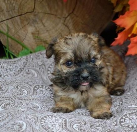 Marley - Havashire Puppy for Sale