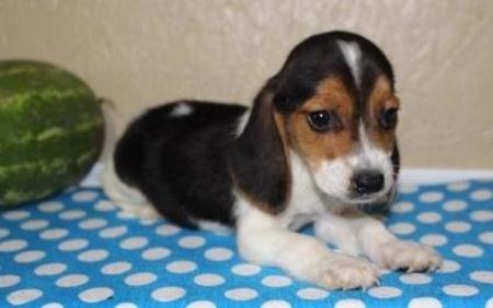Brewser - Beaglier Puppy for Sale