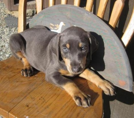 Darla - Doberman Pinscher Puppy for Sale