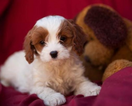 Linsey - Cavapoo Puppy for Sale