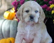 Smarties - Cocker Spaniel Puppy for Sale