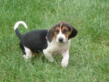Sally - Walker Hound Puppy for Sale