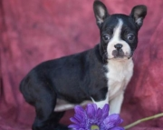 Mandy - Boston Terrier Puppy for Sale