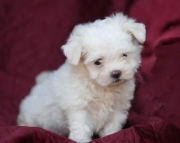 Jenny - Maltese Puppy for Sale