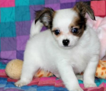 Bailey - Chihuahua Puppy for Sale