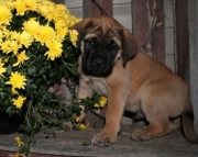 Indigo - Mastiff Puppy for Sale